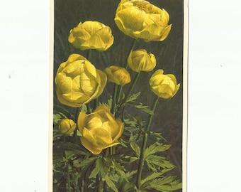 Vintage Unused Botanical Postcard, ca. 1940, Trolius (Globeflowers) by  Thor E. Gyger, Switzerland  #1592