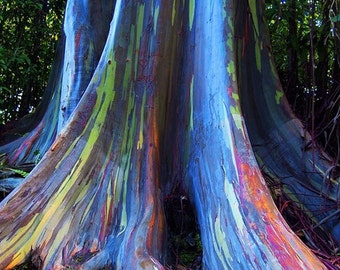 Rare Eucalyptus deglupta Seeds, Rainbow Eucalyptus  - 20 seeds - UK Seller
