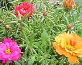 Moss Rose Seeds, Purslane, Portulaca, Pigweed, Rock Garden Plant