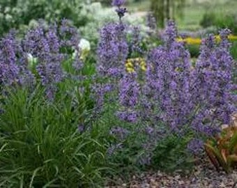 Catnip Seeds, Here Kitty!!, Nepeta cataria, Catmint, Perennial Plant, Herb, Nice Plant for Bees, Tea Making Plant