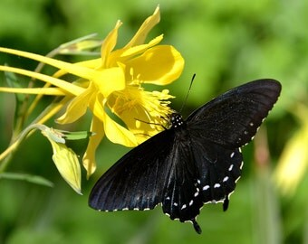 Pipevine Swallowtail and Yellow Columbine
