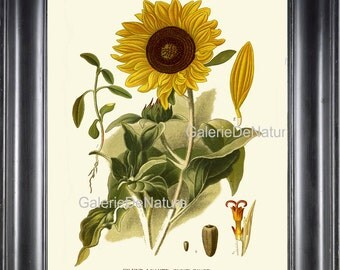 BOTANICAL PRINT Flower Art S73 4x6 5x7 8x10 11x14 Beautiful Yellow Sunflower Country Summer Garden Nature Wildflower Flower Decor to Frame