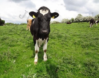 Irish Cow Saying Hello, Ireland Photography, Animal Photography, Home Decor