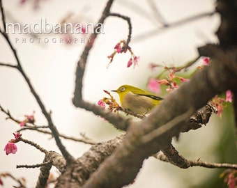 Cherry Blossoms & The White Eyed Bird in Japan Standout Print