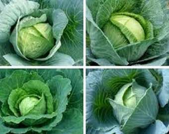 Organic Heirloom Brunswick Cabbage vegetable seeds.Flattened heads weighing 6-9 pound and make a great sauerkraut very cold hardy store well