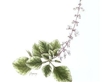 Plectranthus, original framed watercolour botanic art painting