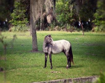 wild horse photography, cumberland island georgia, animal photograph, nature, green home decor, grey horse