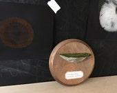 Lime Wedge Fungus: Mounted Papier-mâché Shelf Fungus