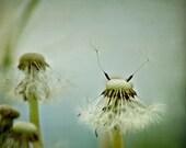 Dandelion Photography, Turquoise Blue Dandelion Photo, Nursery Art, Dandelion Wall Art, Dreamy Nature Photography, Dandelions Print