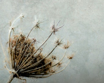 Queen Annes Lace Photography, Flower Photo, Blue and Brown Wall Art, Botanical Art Print, Grey, Fine Art Photography, Nursery Wall Art