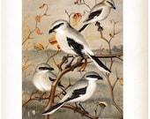 Northern Shrike and Migrant Shrike BIRDS - 1930 Art Print by W j Breckenridge 8 x 11 Vintage Book Plate