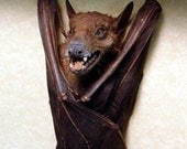 Real Framed Taxidermy Rousettus leschenaulti Wolf Faced Hanging Vampire Bat Shadowbox Display B1310