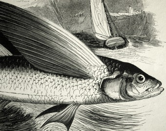1840s-1850s Antique Engraving of Flying Fish