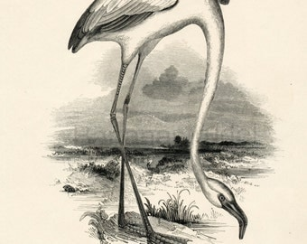 1840s-1850s Antique Engraving of the Flamingo