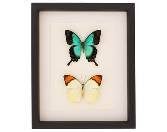 Butterfly Set of Green Swallowtail and Orange Tip Display