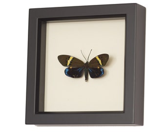 Framed Moth Display Museum Quality Insect Art