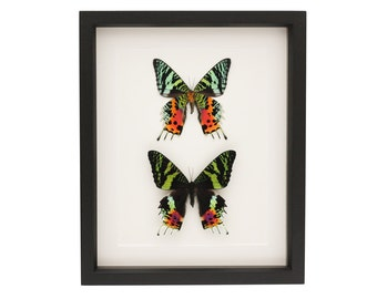 Real Framed Moth Collection Sunset Moth Display UV glass Urania ripheus