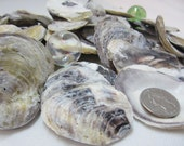 Beach Decor Nautical Oyster Seashells - Common Oyster Shells, 24PC