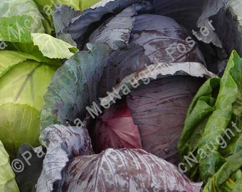 Purple and Green Cabbage 8x10  Stock Photo download