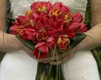 50 RED TULIP BULBS 'Red Impression, Darwin Hybrid'- Prechilled Ready to Grow Bulbs Perfect as Wedding Favors, Red Christmas Party Favors