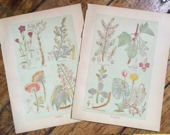 1906 MEDICINAL PLANTS lithograph original antique botanical flower print set of 2 - set IV