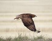Fine Art Hawk Photograph, Red Tail Hawk Art Print, Hawk in Flight Photograph, Raptor photograph, Hawk Art Print