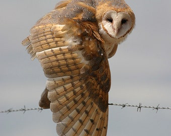 Owl Photograph, Barn Owl FIne Art, Barn Owl Wingstretch, Fine art owl photograph
