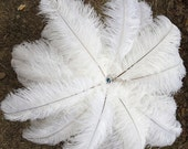"""5 OSTRICH 10-12"""" Feathers WHITE quills plumes drabs"""