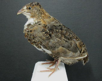 Brown & White Quail Real Bird Taxidermy mount