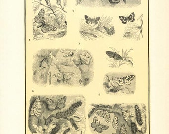 "Digital Download ""Folliage-Eating Moths"" Illustration (c.1900s) - Instant Download of Moths Illustrated Insect Book Page"