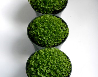"""Moss Plant Trio - Live Moss in 4"""" Containers - DIY Terrarium or Fairy Garden Plants - Moss Centerpieces"""