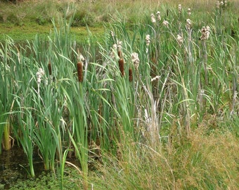 Live Cattail Plants