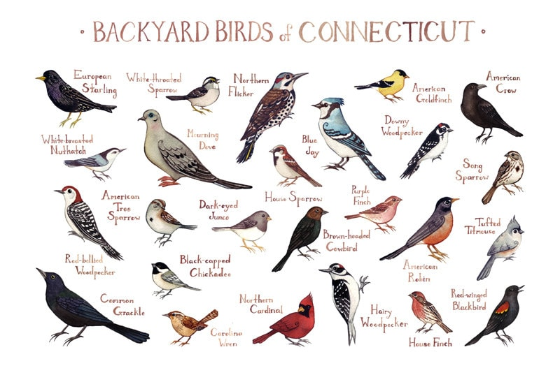 Connecticut Backyard Birds Field Guide Art Print / Watercolor