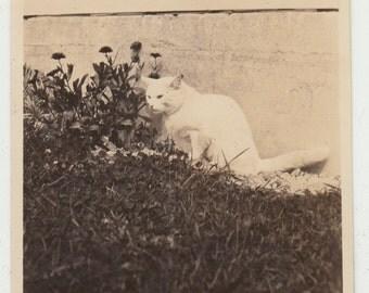 Vintage/Antique photo of a serious cat