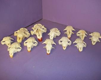 12 skull beaver real animal bone taxidermy skeleton tooth head part damage
