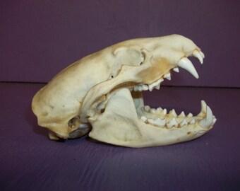 Real bone animal badger taxidermy part skull skeleton tooth head weird