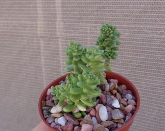 Green Stonecrop-Sedum Brevifolium