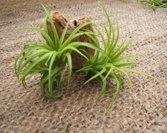 50 Assorted Ionantha Wholesale