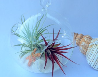 "Air Plant Medium Orb Hanging Terrarium Clear Glass Orb Kit  beach theme 6"" Glass Orb"