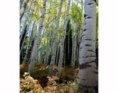 Forest floor aspen trees ferns Colorado fine art photograph print 4x6