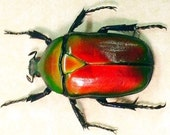 """1+"""" Real Scarab Beetle Torynorrhina Flammea flower beetle orange red iridescent dried preserved insect bug taxidermy"""