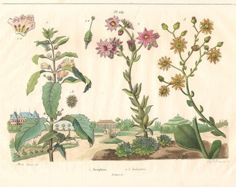 Antique Botanical Print/Engraving with original hand-coloring, by Guérin-Méneville, from Histoire Naturelle, 1834 -Josephine, Joubarbes