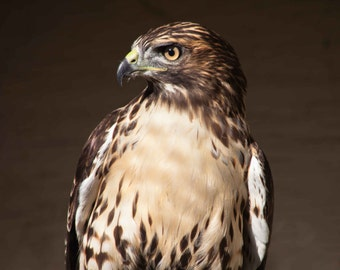 Red-Tailed Hawk. Hawks. Birds of Prey. Wildlife Images. Professional Print. Bird of Prey Photography by Liz Bergman. Liz and Rich Photos.