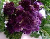 Heirloom Purple Sprouting Broccoli, Great Flavor, Long Harvesting Season, 25 Seeds