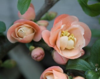 Flowering Quince #1 - Free Shipping