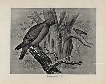 Antique Original Bird  Lithograph - Stock Dove -Black and White Print  dated 1890