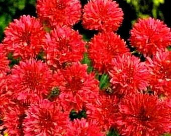 75 - Bachelor Button or Cornflower Seeds - Tall Red - Heirloom Bachelor Buttons, Non-GMO Bachelor Buttons, Heirloom Cornflowers, Red Flowers