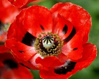 100 - Poppy Seeds Red Corn or Flander's Field - Heirloom Poppies, Non-GMO Poppies, Heirloom Wildflower, Heirloom Poppy,  Heirloom Poppy Seed