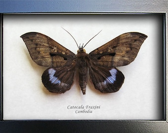 Blue Underwing Catocala Fraxini Real Moth Museum Quality Shadowbox