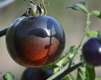 Organically Grown, non-GMO, Heirloom Indigo Rose Tomato Seeds